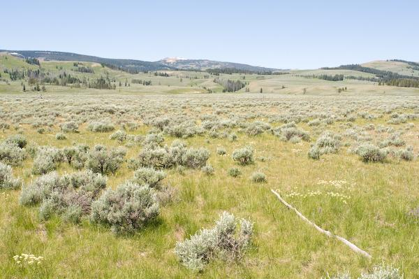 Looking for the elusive sage moose (Alces sagifora) (Yellowstone NP, Wyoming)